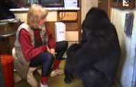 Conversations avec Koko, le gorille qui communique avec les humains