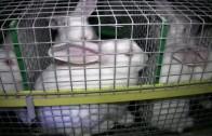 Enquête dans des élevages de lapins en France (image choc, attention aux enfants)