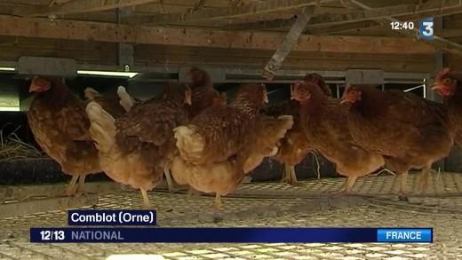 Des poules ont arrêté de pondre à cause des ondes électriques